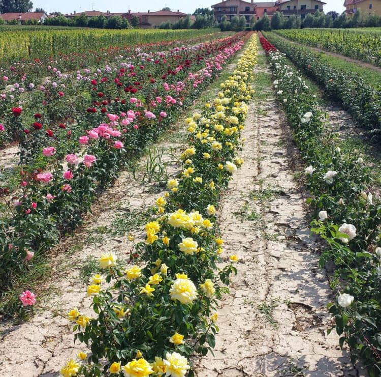 Coltivazione in campo aperto di una grande varietà di rose | Vivailazzaro.it