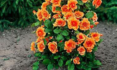 Orange beauty è una rosa a cespuglio di piccole dimensioni, molto ramificata | Vivailazzaro.it