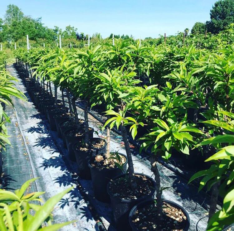 Coltivazione in contenitore di piante da frutto | Vivailazzaro.it