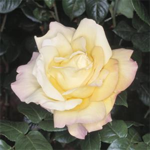Rosa Gioia è la rosa più famosa del mondo