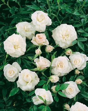 La pianta di rose Biancaneve è a cespuglio ramificata | Vivailazzaro.it