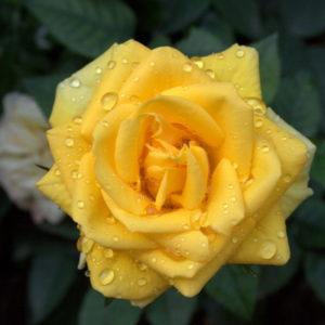 Rosa Buccaner è molto rigogliosa e produce fiori di colore giallo molto intenso | Vivailazzaro.it