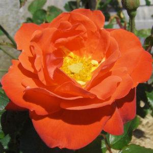 Orange Sensation pianta di rose con fiori a grappoli di un fiammeggiante rosso-arancione   Vivailazzaro.it