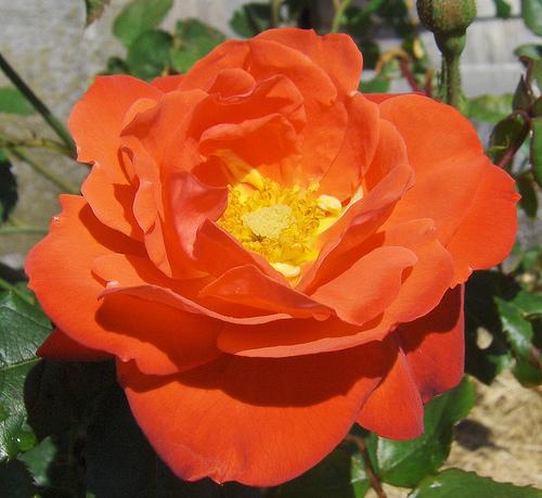 Orange Sensation pianta di rose con fiori a grappoli di un fiammeggiante rosso-arancione | Vivailazzaro.it