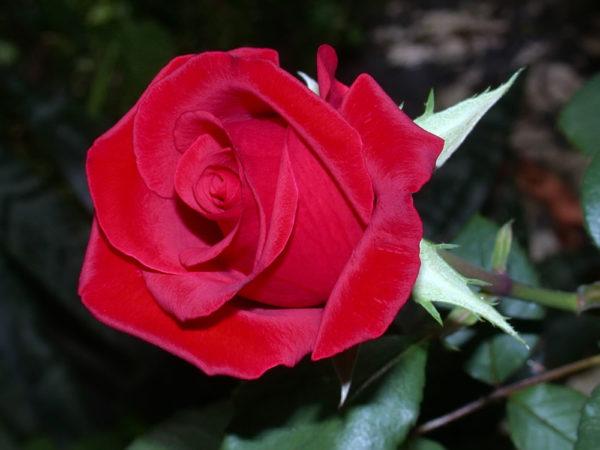 Risultati di ricerca Risultati web Rosa a cespuglio rossa rifiorente Chrysler Imperial fortemente profumata | Vivailazzaro.it
