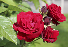 Rose bushes Polyantha