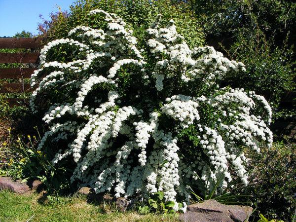 La Spirea è un arbusto a foglia caduca con una abbondante fioritura | Vivailazzaro.it