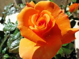 Rosa Armonia è un rosaio a cespuglio di grandi dimensioni con fiori grandi | Vivailazzaro.it