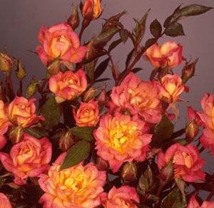 Baby masquerade cespuglietto sempre in fiore con roselline molto fitte  | Vivailazzaro.it