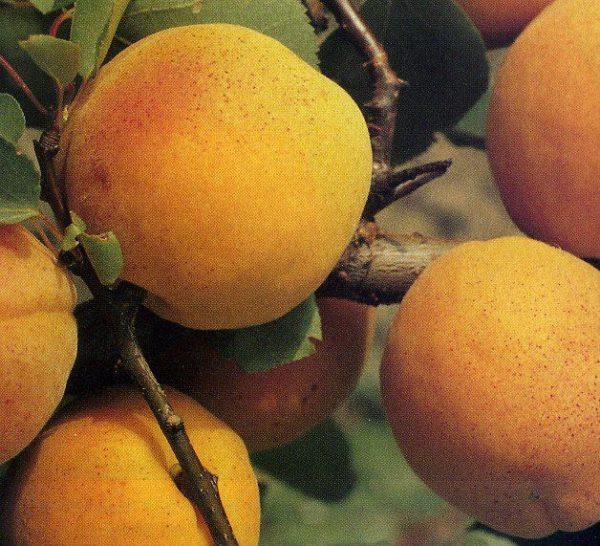 Albicocco Boccuccia con frutti medio grossi | Vivailazzaro.it