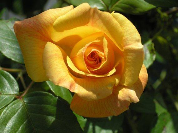 Doriana è un rosaio di grandi dimensinsioni dai fiori grandi | Vivailazzaro.it