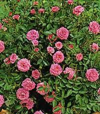Eleanor rosa lillipuziana, molto rifiorente con molte roselline rosa carico | Vivailazzaro.it