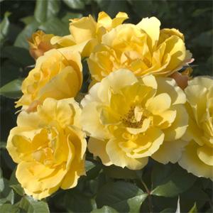 Rosa polianta rifiorente ALLGOLD