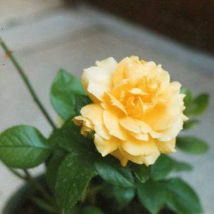Speack's yellow rosaio di grandi dimensioni che pro