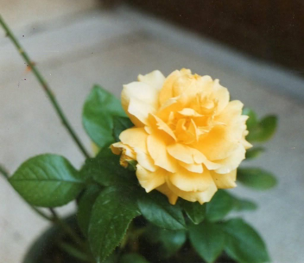 Speack's yellow pianta di rose a grandi fiori gialli | Vivailazzaro.it