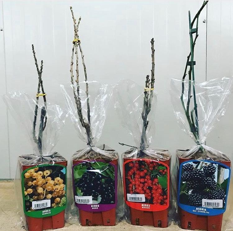 Arbusti da frutto, Viti e Rose in vaso con foto identificativa e sacchetto in plastica trasparente | Vivailazzaro.it