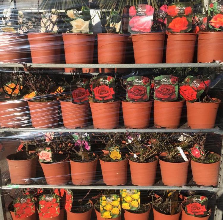 Vendita di piante di rose rampicanti in vaso di 20 cm | Vivailazzaro.it