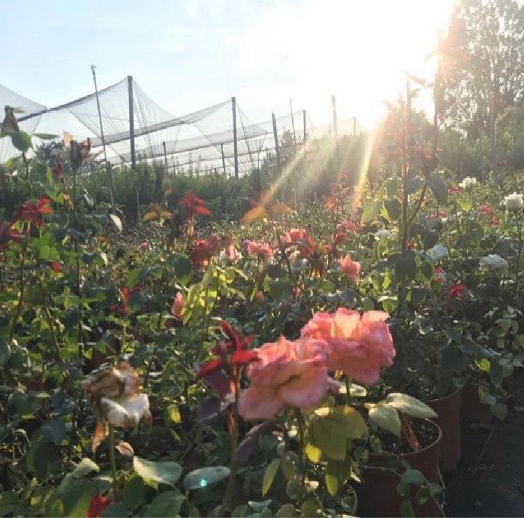 Produzione di rose ad alberello | Vivailazzaro.it