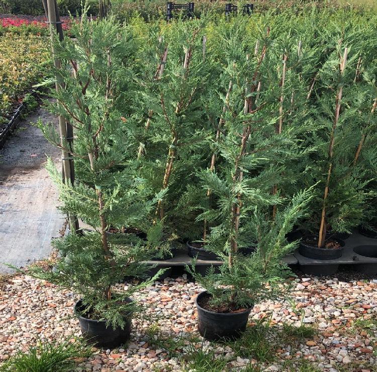 Produzione e vendita di conifere | Vivailazzaro.it