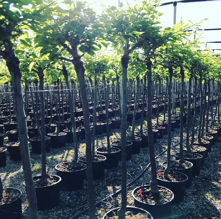 Vendita online di piante da frutto in contenitore da 24 cm di diametro | Vivailazzaro.it