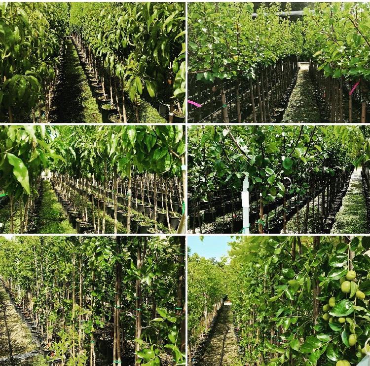 Ampia gamma di alberi da frutto in vendita in vaso di 24 cm di diametro | Vivailazzaro.it