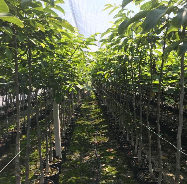 Piante da frutto in contenitore produzione e vendita | Vivailazzaro.it