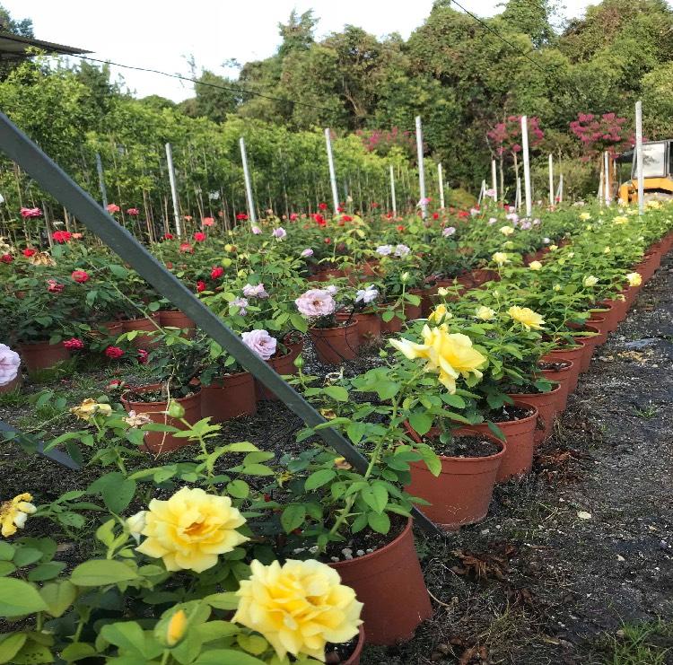 Produzione e vendita di rose a cespuglio | Vivailazzaro.it