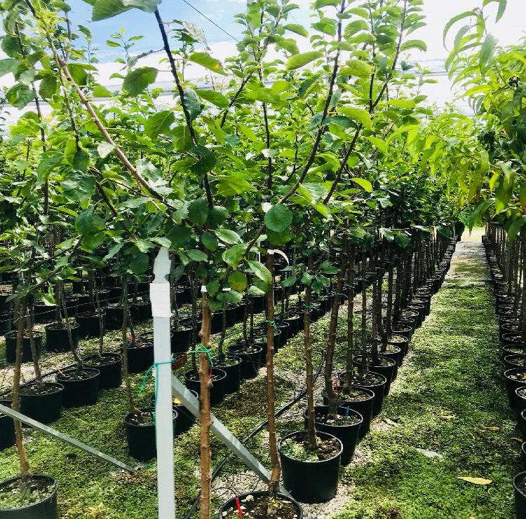 Vendita alberi da frutto di 3 anni in vaso di 24 cm di diametro | Vivailazzaro.it