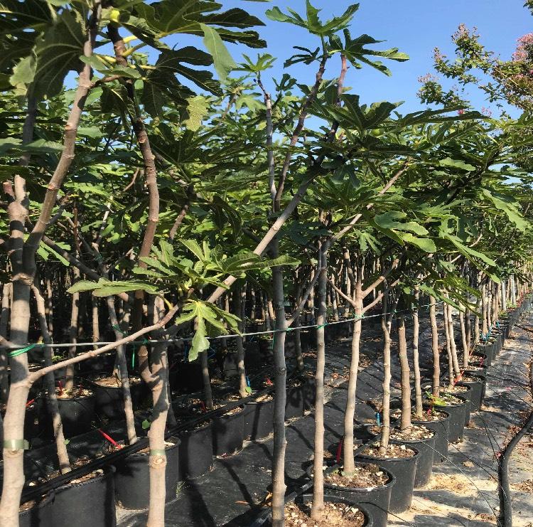 Vendita e produzione di una grande selezione di piante da frutta in vaso Vivailazzaro.it
