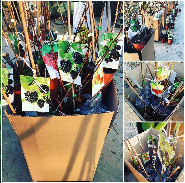 Vendita arbusti da frutto in sacchetto di plastica | Vivailazzaro.it