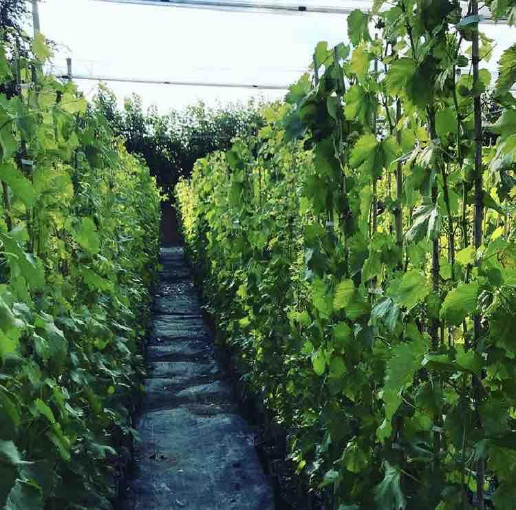 Vendita di piante da frutto in contenitore | Vivailazzaro.it