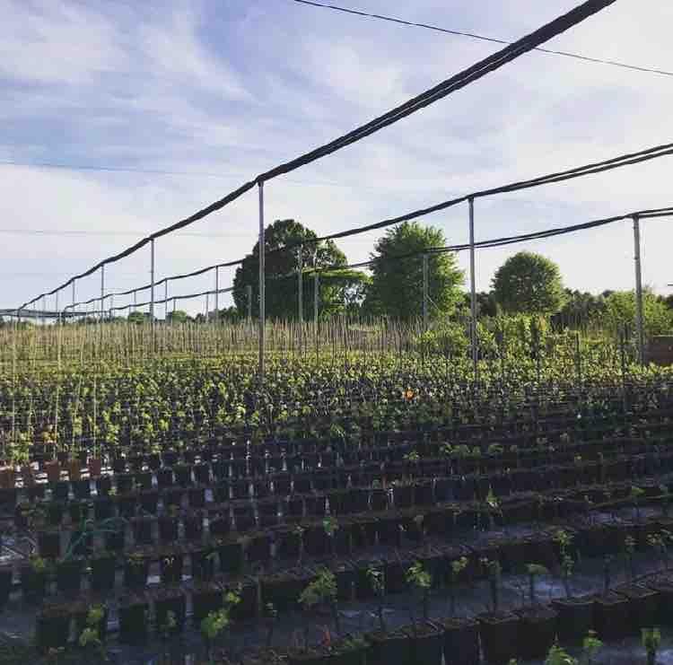 Vasta produzione e vendita di piante in vaso da 24 cm | Vivailazzaro.it