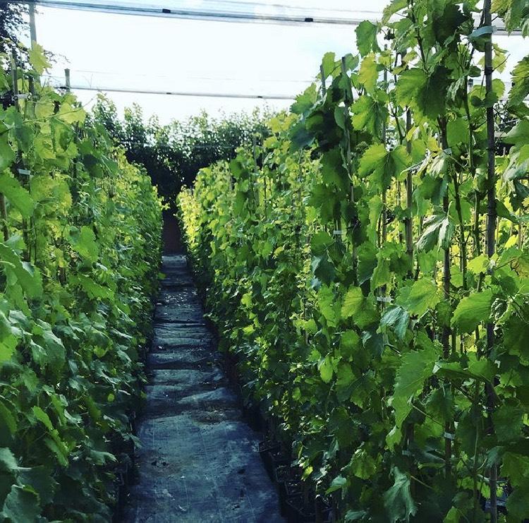 Produzione e vendita online di una vasta gamma di alberi da frutto | Vivailazzaro.it