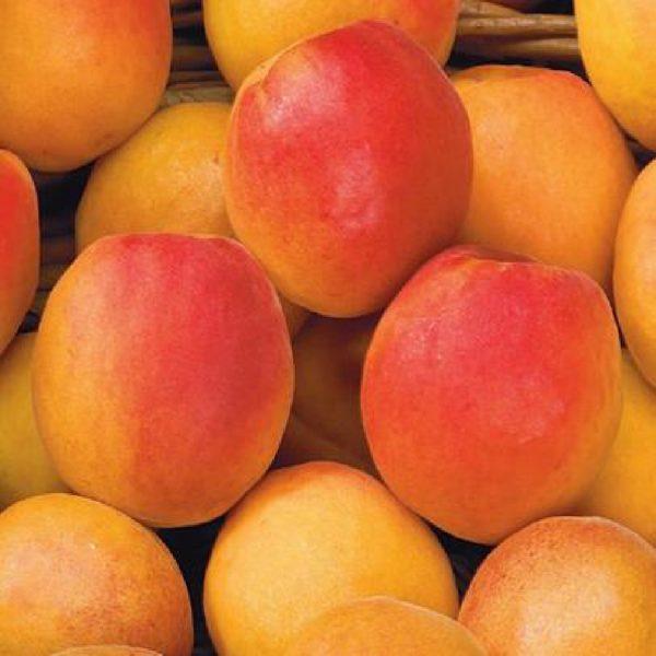 L'Albicocca Cafona (Prunus Armeniaca Vulgaris) è un albero molto vigoroso a portamento intermedio | Vivailazzaro.it