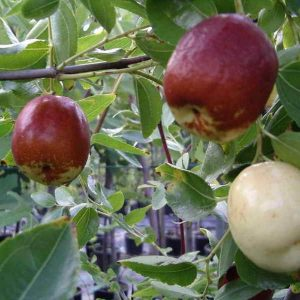 Giuggiolo lang è una pianta vigorosa a portamento espanso e irregolare. | Vivailazzaro.it