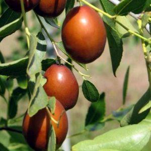 Giuggiolo Ziziphus Sativa è una pianta de frutto che può essere coltivata sia a cespuglio che ad alberello | vivailazzaro.it