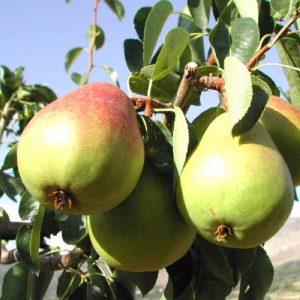 Pero Decana del comizio albero da frtto di rapida e abbondante fruttificazione   Vivailazzaro.it