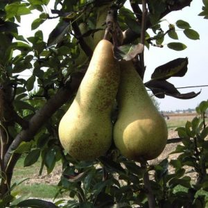 Pero Abate Fetel cultivar con elevato valore commerciale   Vivailazzaro.it