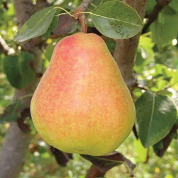 Il Pero Butirra precoce Morettini è una pianta di vigoria media | Vivailazzaro.it
