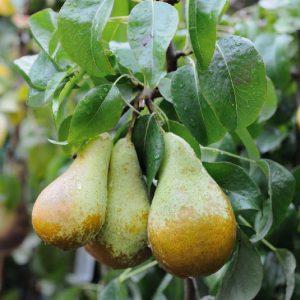 Pero Conference è una pianta molto fertile con produzione elevata   Vivailazzaro.it