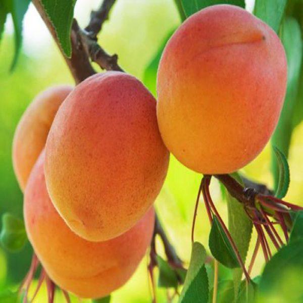 L'Albicocco Cremonini è una cultivar di buon vigore, elevata produttività e buona costanza | Vivailazzaro.it