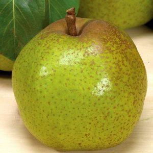 Pero Passacrassana produce frutti di pezzatura medio-grossa di forma conica   Vivailazzaro.it