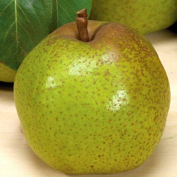 Pero Passacrassana produce frutti di pezzatura medio-grossa di forma conica | Vivailazzaro.it