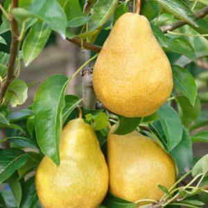 Pero William bianco produce frutti di pezzatura media di forma piriforme | Vivailazzaro.it