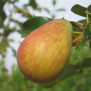 Albero da frutto Pero Bella di Giugno dal frutto succoso   Vivailazzaro.it
