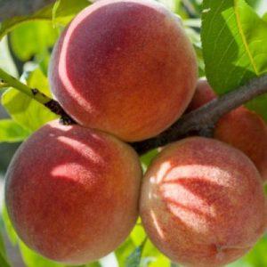 Pesco Luisa Berselli albero da frutta di buona produttività | Vivailazzaro.it