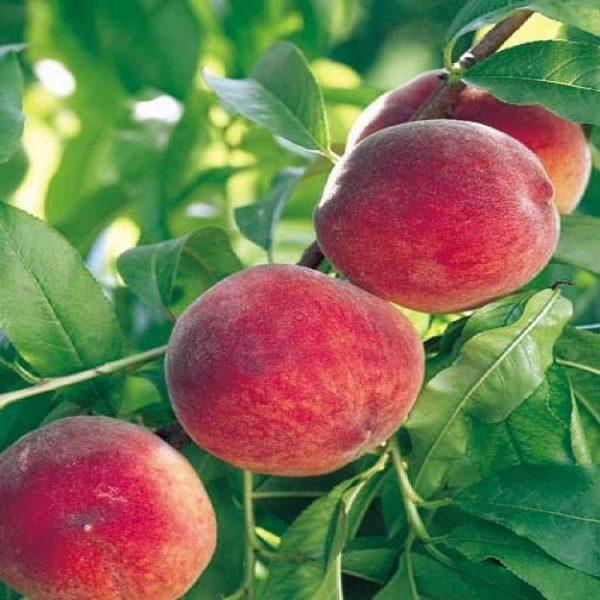 Albero da frutto Pesco Michelini di grossa pezzatura | Vivailazzaro.it