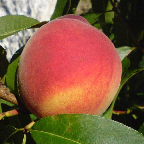 Pesco Redhaven albero da frutto vigoroso | Vivailazzaro.it