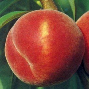 Pesco Redhavenproduce frutti di grande pezzatura | Vivailazzaro.it
