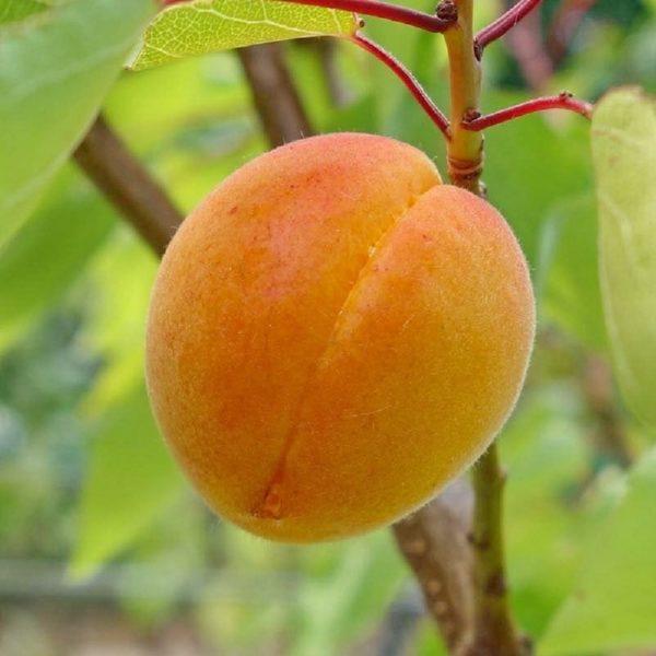Il frutto dell'albicocco Caldesi è di pezzatura medio-grossa | Vivailazzaro.it